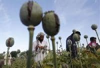 Afghan poppy blight may not harm heroin supply
