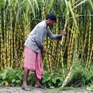 Cabinet approves new crop insurance scheme: Government source