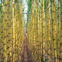 Sugar cos rally, govt may thrust ethanol blending in petrol