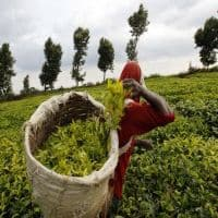 Greenpeace calls on industry to save tea from pesticides