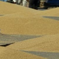 66 lakh MT wheat procured by govt agencies in Haryana