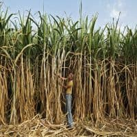 Sugar mills owe Rs 6,598 cr to cane farmers