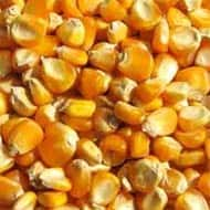 Maize prices stable on increased sowing: USGC